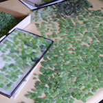 our process of sorting green sea glass for earrings